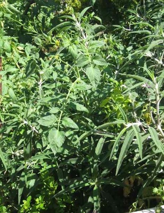 a diverse jungle of dense vegetation with healthy looking tomato leaves close by