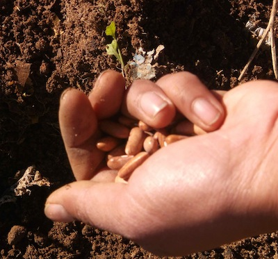 beans are usually sown direct