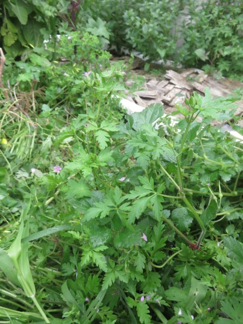 Little robin in a tangle of thriving weeds. I read that its not only a medicinal but a great plant companion