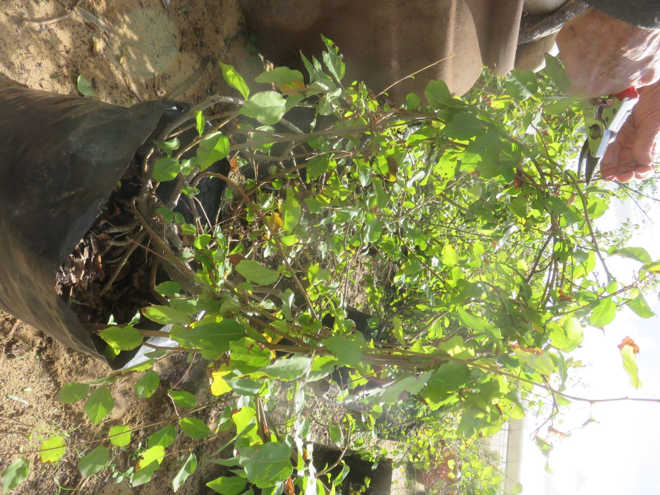 The branches of the kruisbessie are so flexible, they can form a living wreath.