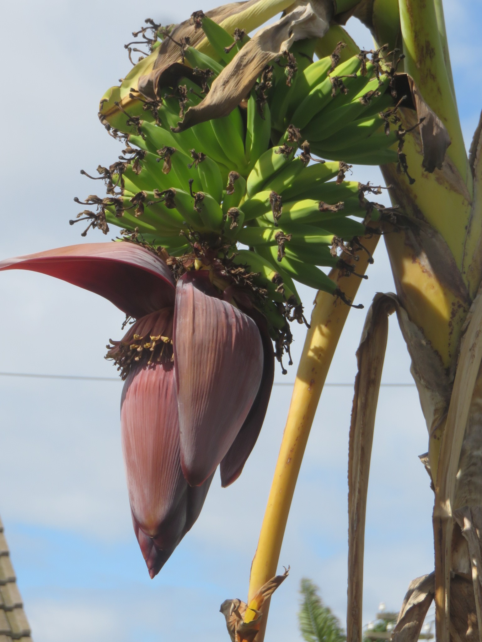 Trees such as bananas thrive on gray water