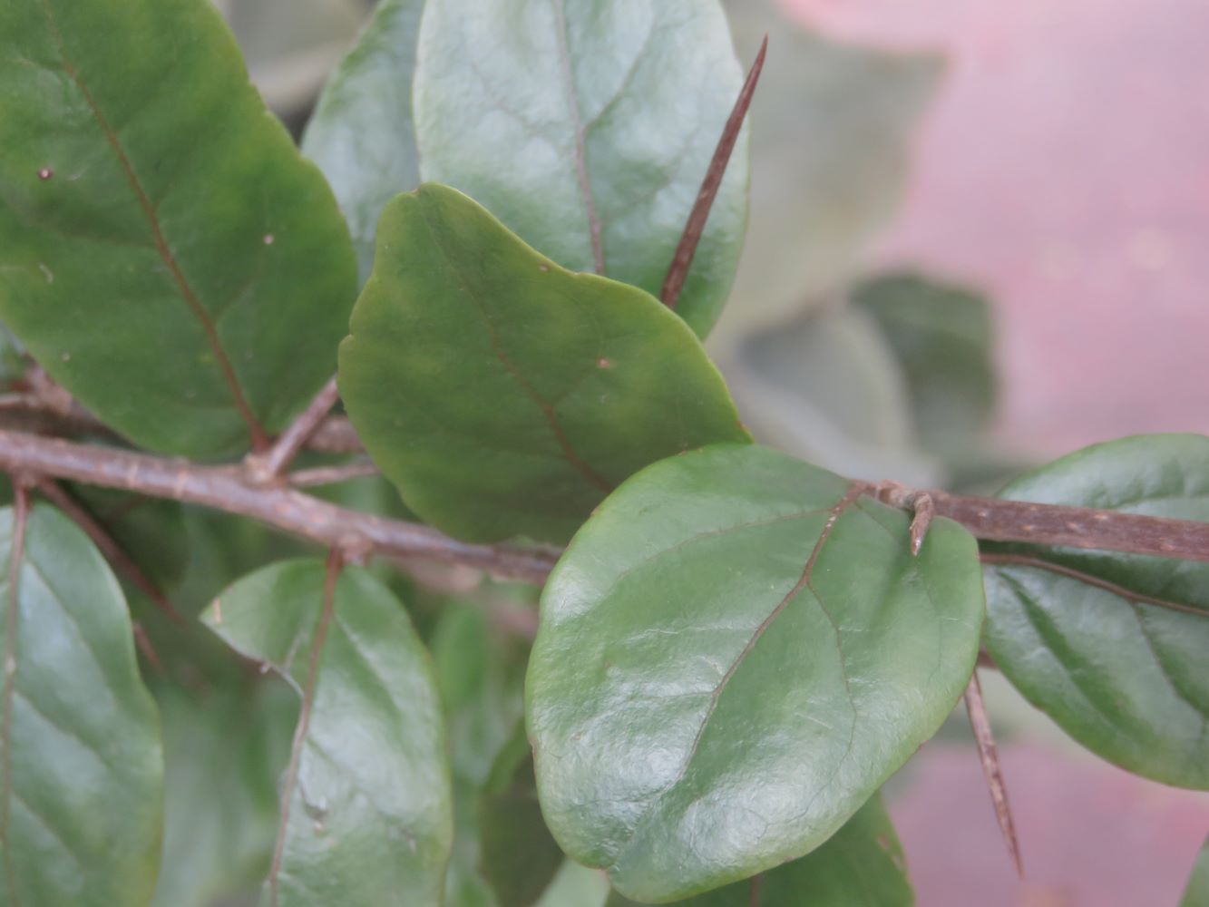 Mine with small soft leaves and thorns