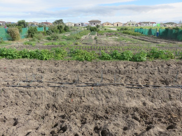 another urban gardening triumph in Khayelitsha