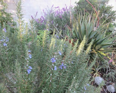 A Real Global Mix Of Water Wise Mediterranean Plants