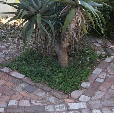 An aloe growing in an indigenous edible green carpet