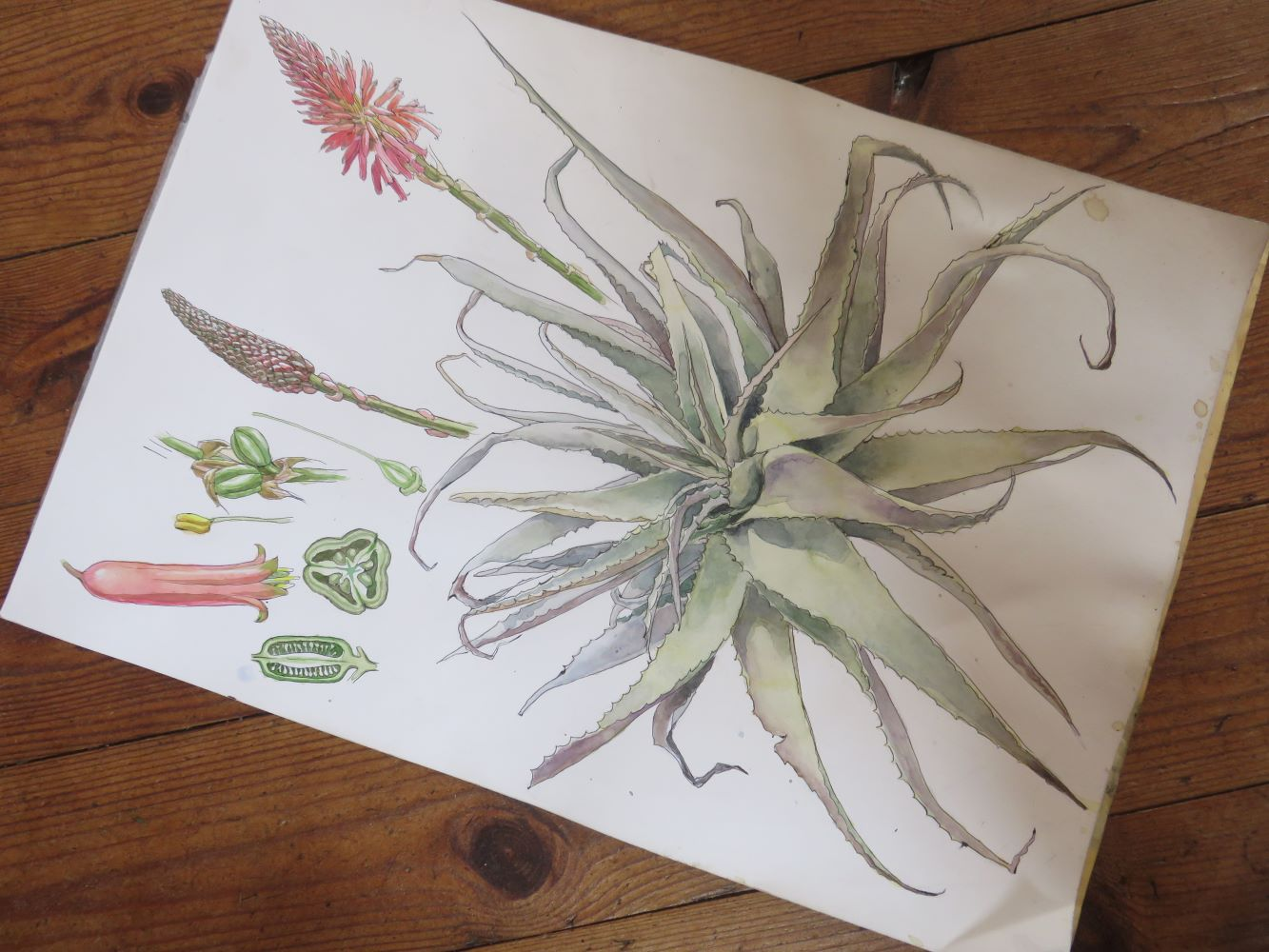 The second water color painting of Aloe arborescens