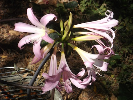 Amaryllis belladonna (also poisonous)