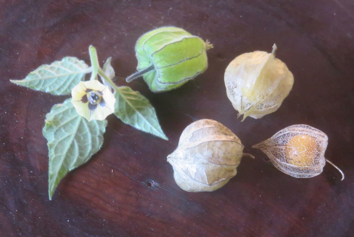 The Cape gooseberry. Very nutritious, but it originally came from Peru. Plants adapt and so can we.