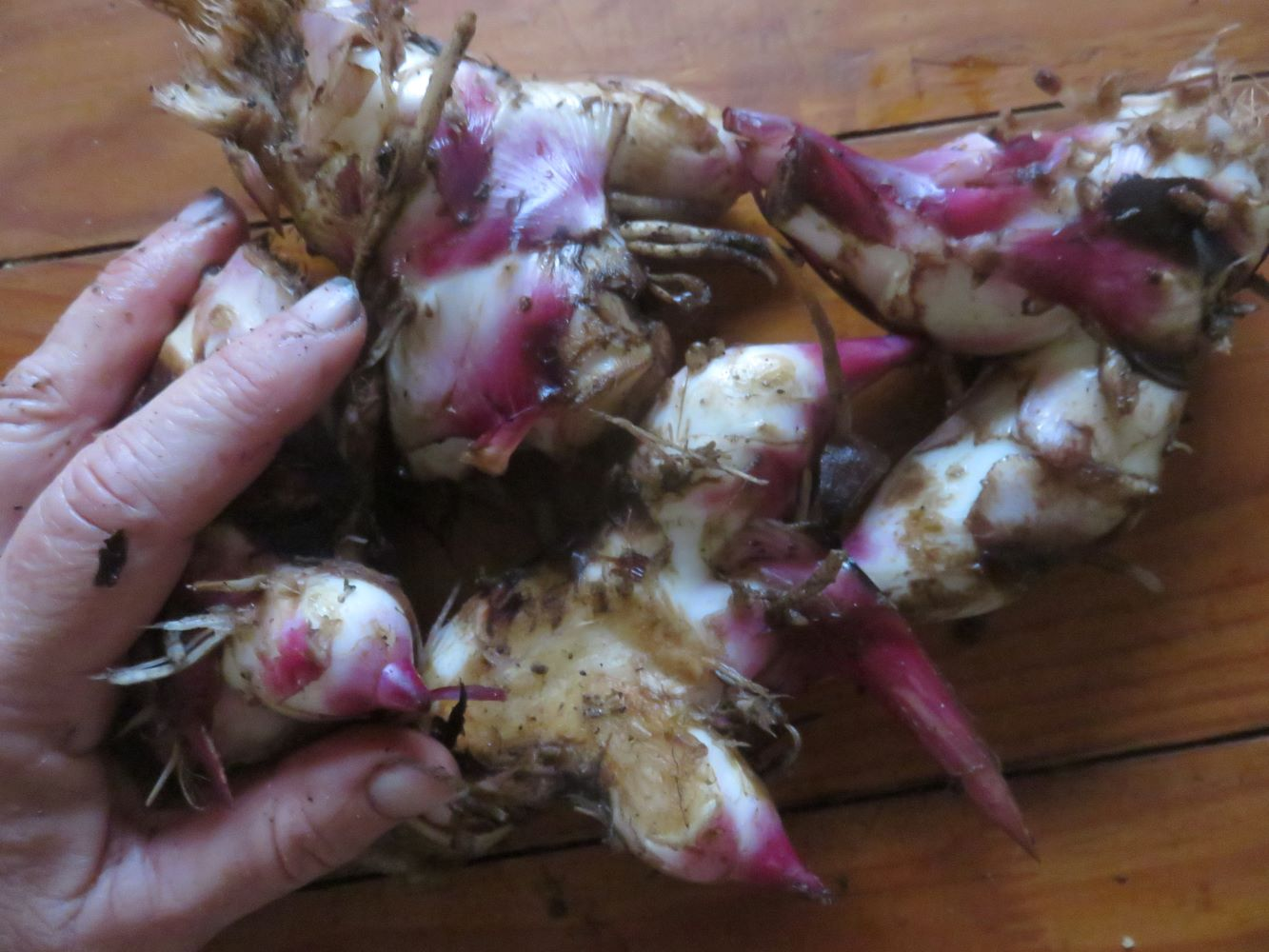 Food for the microbes and food for we. The amazing perennial arrowroot.