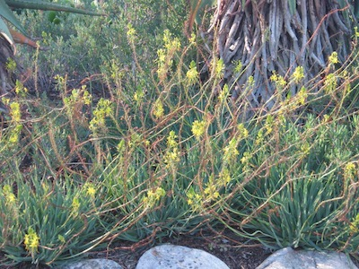 plants used in Mediterranean gardening: Bullbinella is drought tolerant, a ground-cover and medicinal