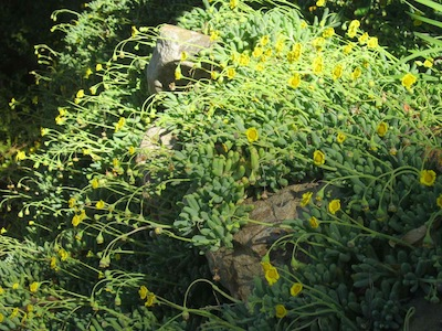 a rocky terrace with excellent drainage provides an ecological niche in Mediterranean gardening