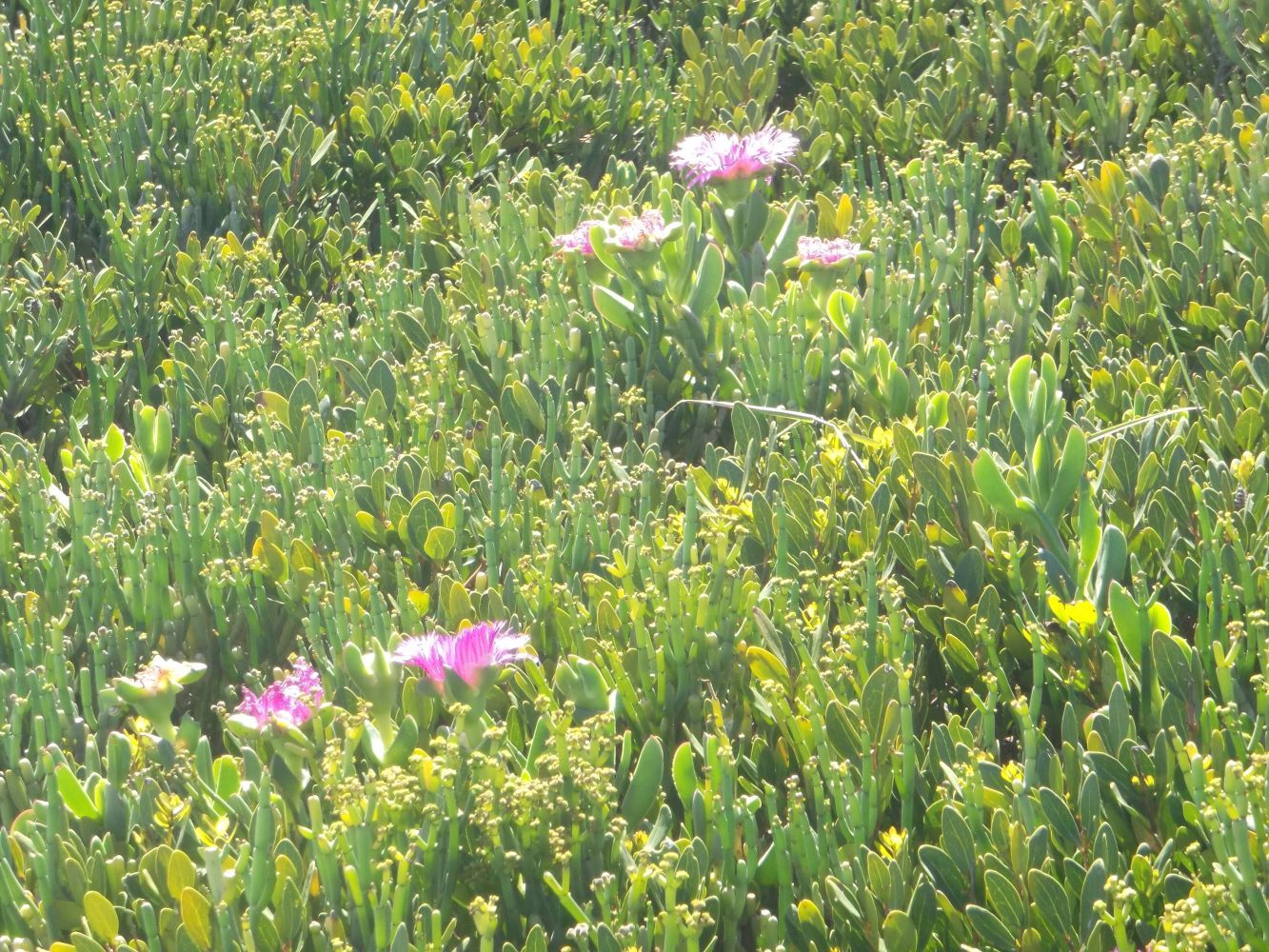 Carpobrotus deliciosus? growing on a dune near Haakgat in Cape Town in harmony with other plants.