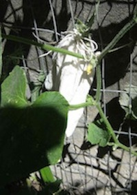 a tiny cucumber, fertilized by hand and bagged to prevent fruit fly attack