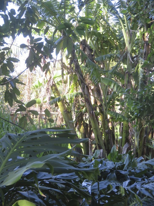 exotic vegetation thrives in a massive banana grove
