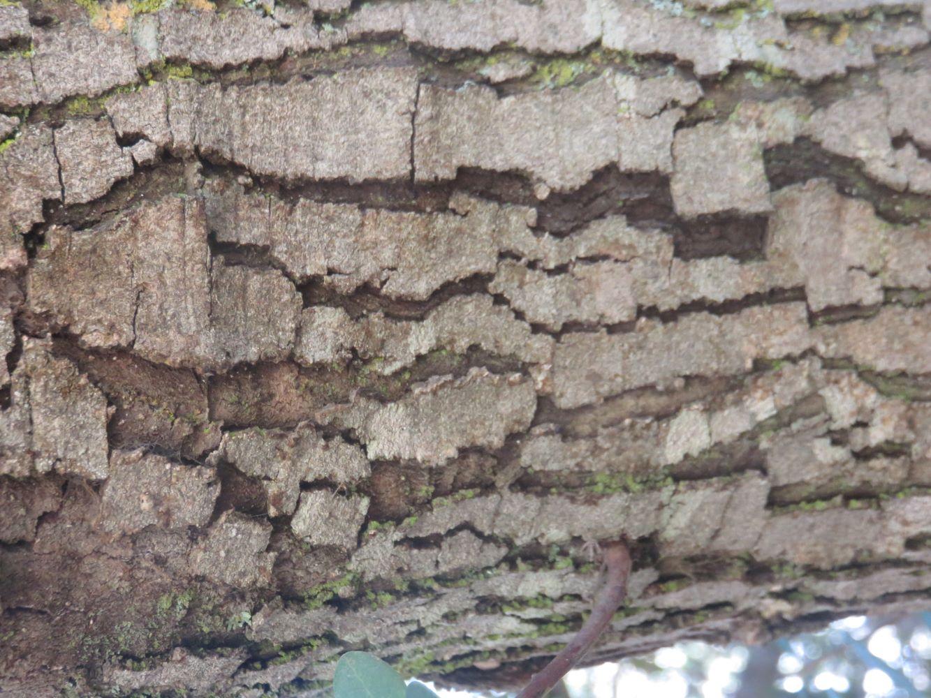 Euclea racemosa bark on an old tree.