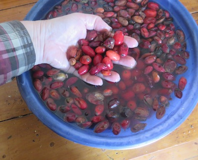 A forager's harvest. Wild plums gathered off the street.