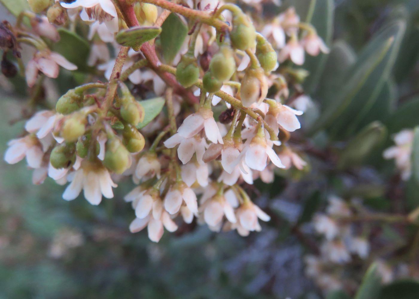 Prolific flowering Dune Gwarrie, Euclea racemosa