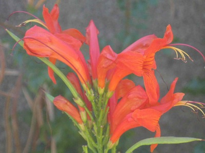 drought tolerant plants may adapt for bird pollination