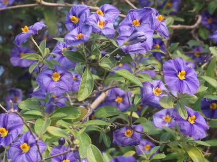 Blue Solanum or potator bush tree flowering in July to September in Cape Town, South Africa