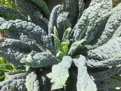 Brassica oleracea the most protean vegetable