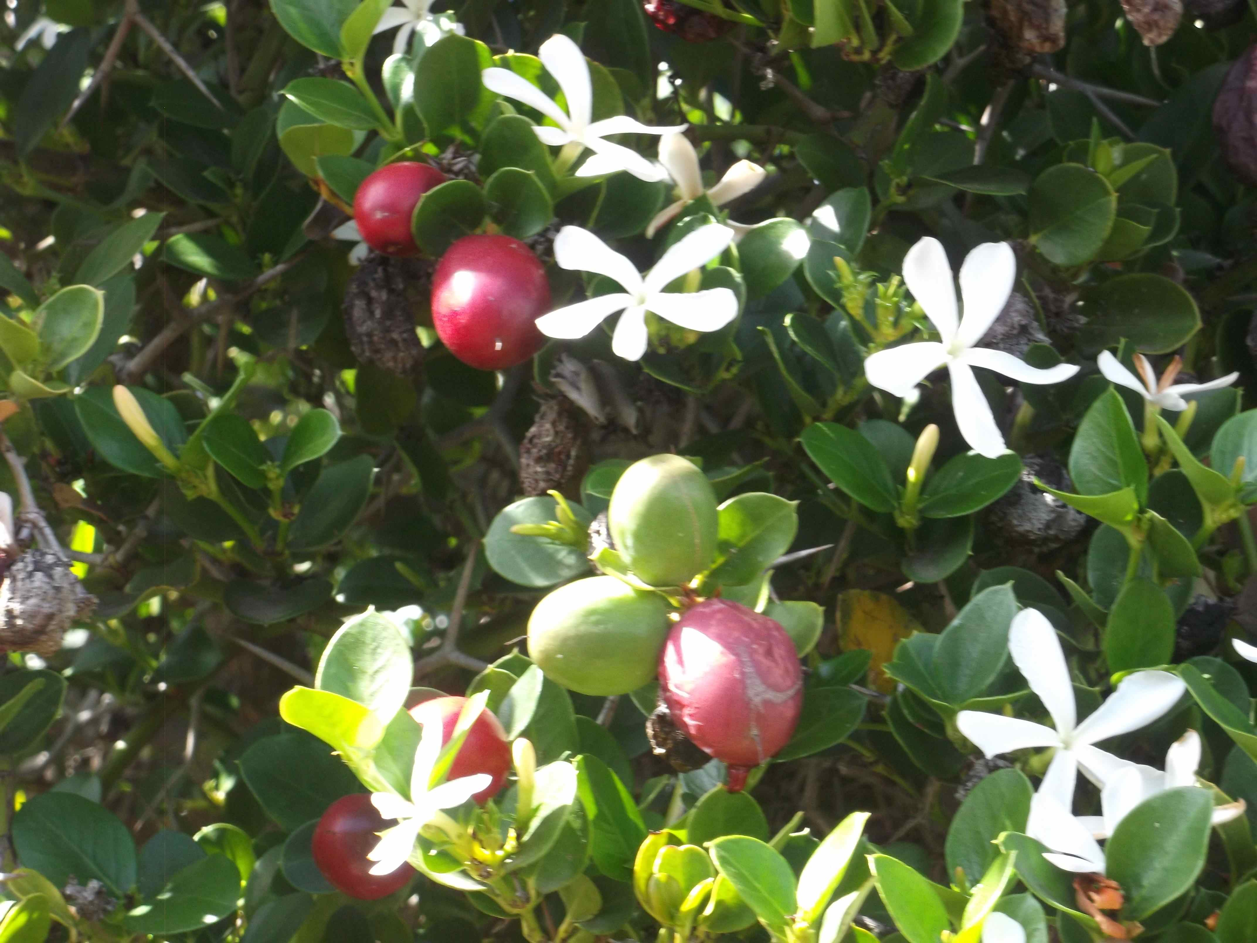 Carissa bispinosa, lovely gardenia perfume, delicious fruit, inconvenient thorns, great hedge plant