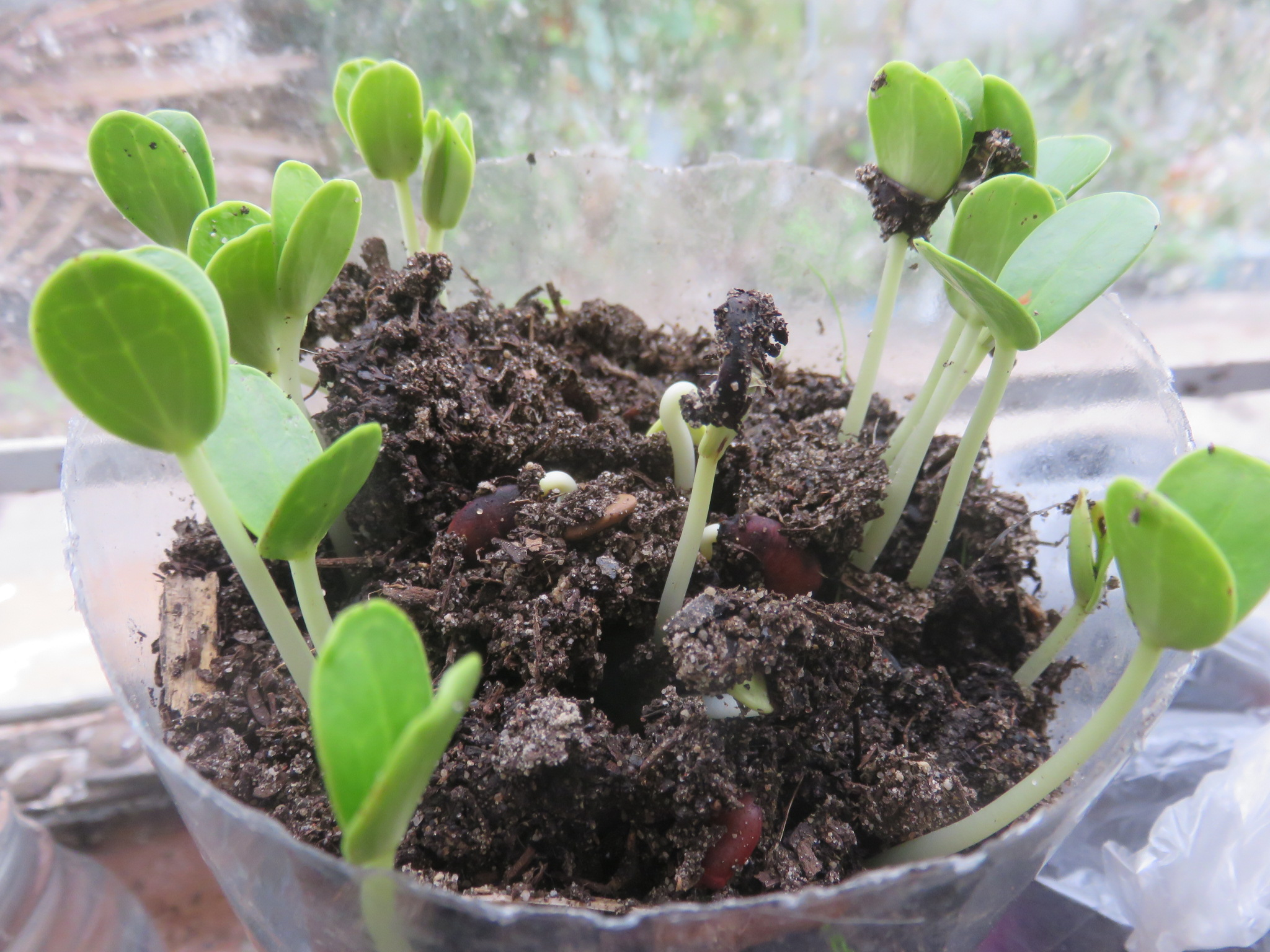 Carob seed can take just 2 weeks to germinate