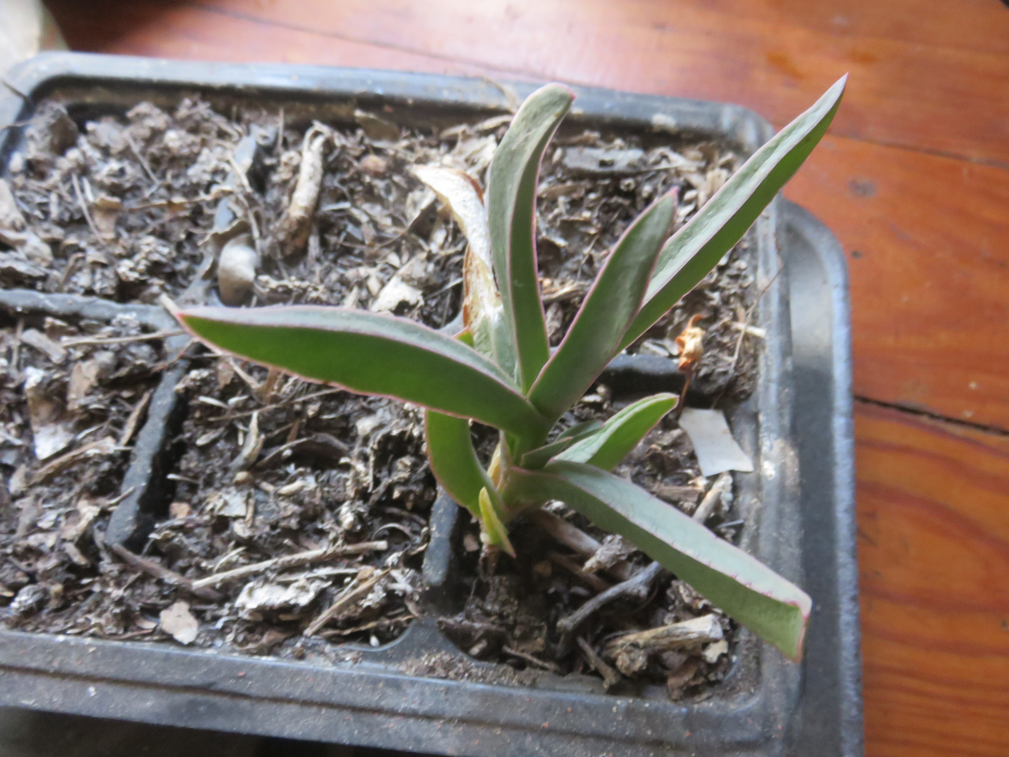 A year old Carpobrotus seedling