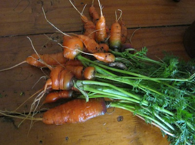 carrot harvest at seven months