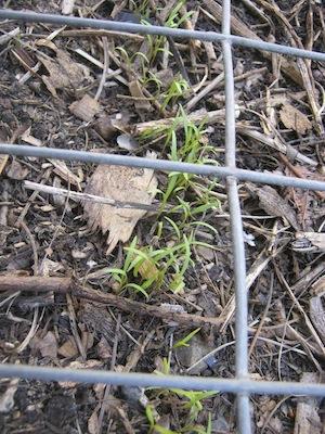 carrot seed emerging through mulch