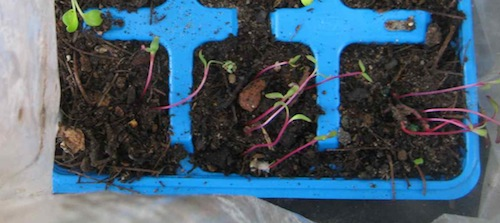 This chard stayed too long in plastic, but can be saved