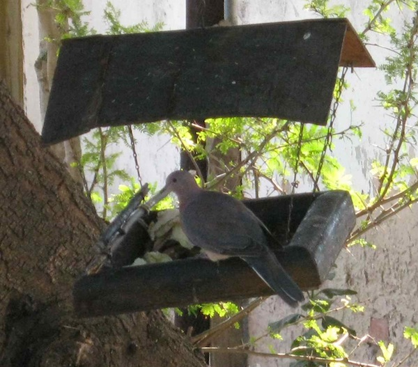 A dove feeding at the bird tray. The extension of the perch in the background is specially for them as they had trouble landing in a small space