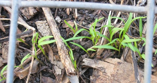 the carrots germinated with protection from bird pests