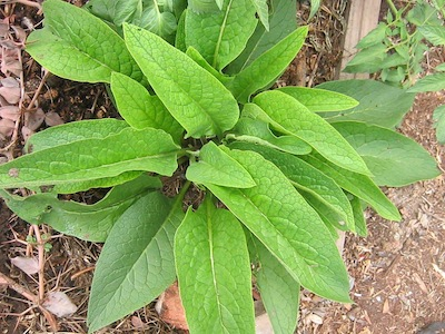 comfrey, and excellent nutrient accumulator, improving your soil for easy vegetable gardening