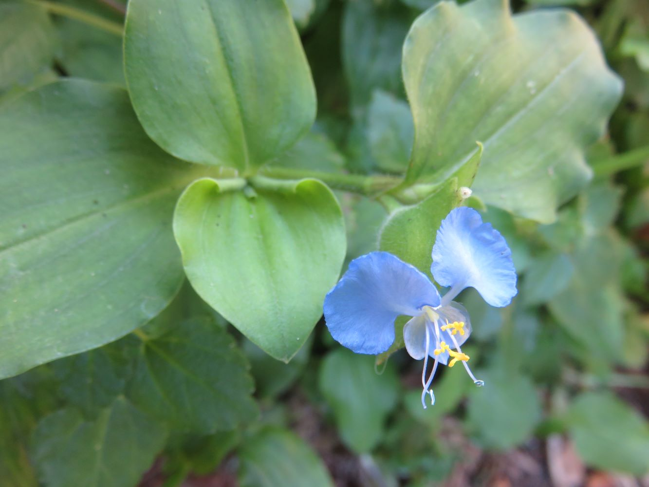 Commelina flower