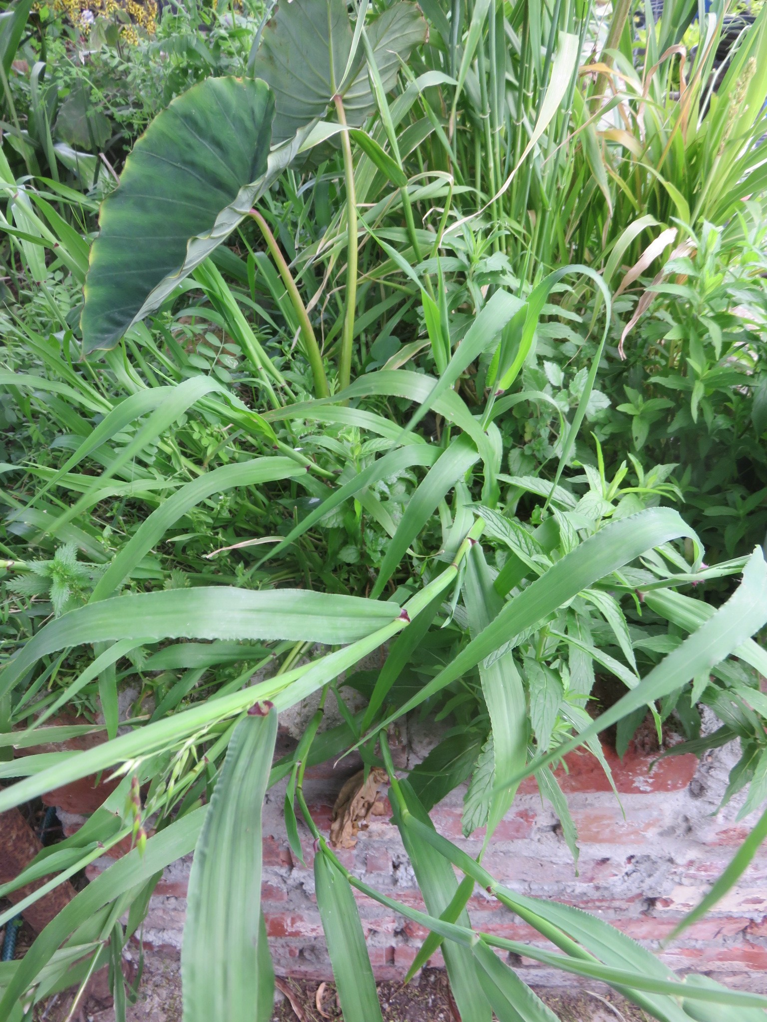 cocoyam, sorghum, wild peas and mint thrive while recycling grey water