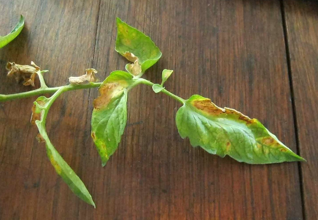 early tomato blight in a microcosm: lower leaves curl up and die, bull's eye lesions