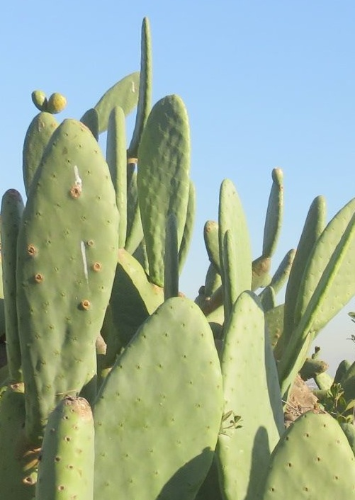Opuntia an invasive menace you can eat leaves and all