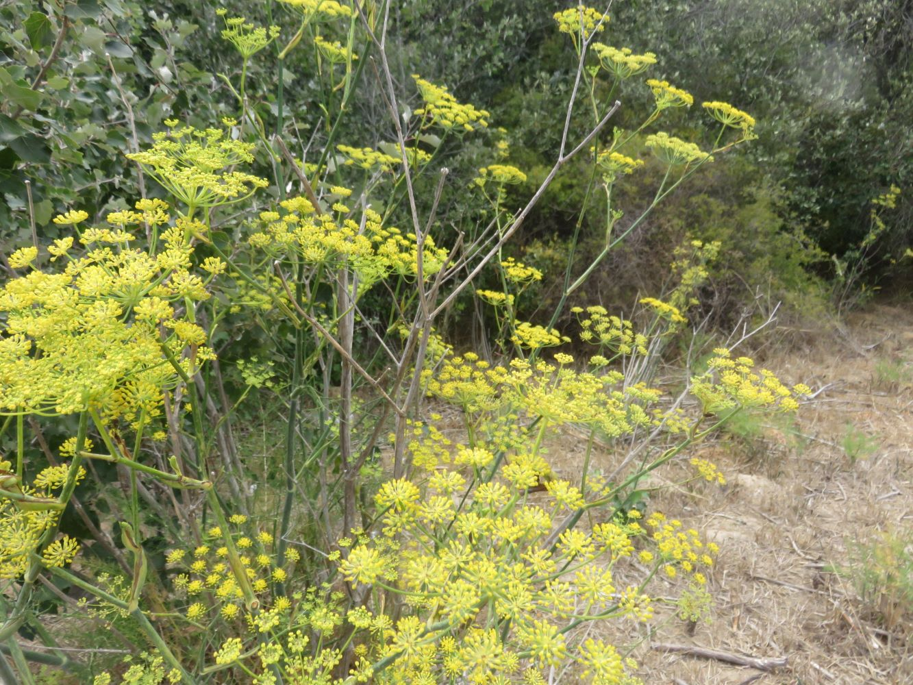 Worlds within worlds: naturalized fennel in our own wilderness houses a miniature universe of microbes