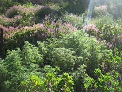 The fineness of Fybos, drought tolerant plants at Kirstenboschn