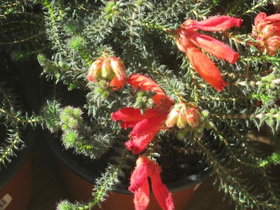 in water-wise gardening you have to deal with some uncooperative and prickly customers