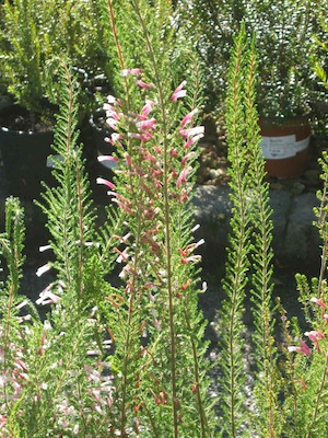 Summer drought tolerant plants with feathery foliage reducing sunburn, harvesting dew and tubular flowers specialized for bird or long tongued fly pollinators