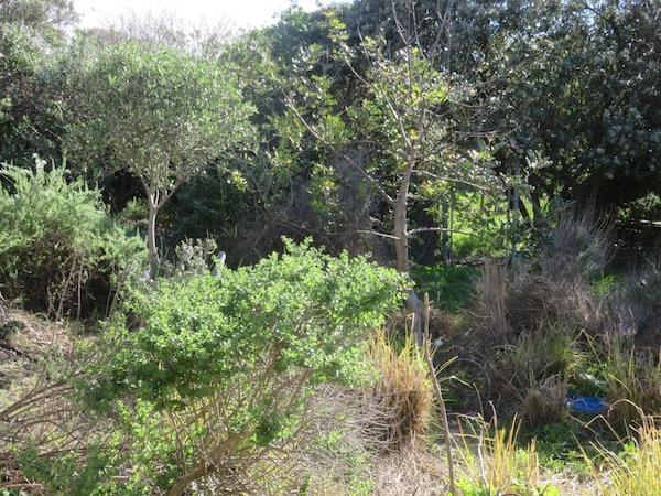A food forest at a project in Cape Town which survives when the annuals are in disarray.