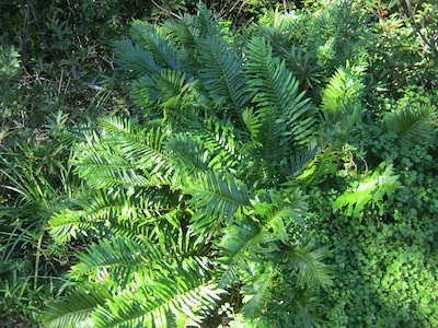 know your site, choose plants which fit: a thin skin of soil around some boulders in the wet riverine zone supports this lovely fern