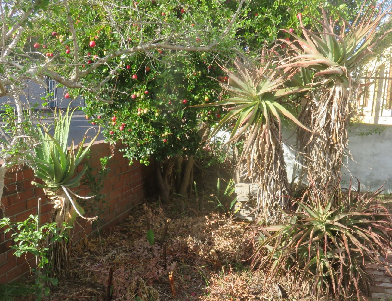 The single head and  height of Aloe arborescens. The one growing at the street wall has been harvested by passers by for medicinal and cosmetic use.