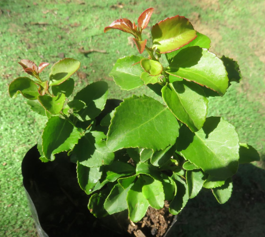 A Gymnosporia buxifolia sapling in excellent health at Spirit of Nature nursery in Cape Town.