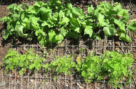 growing carrots near other plants is common practice