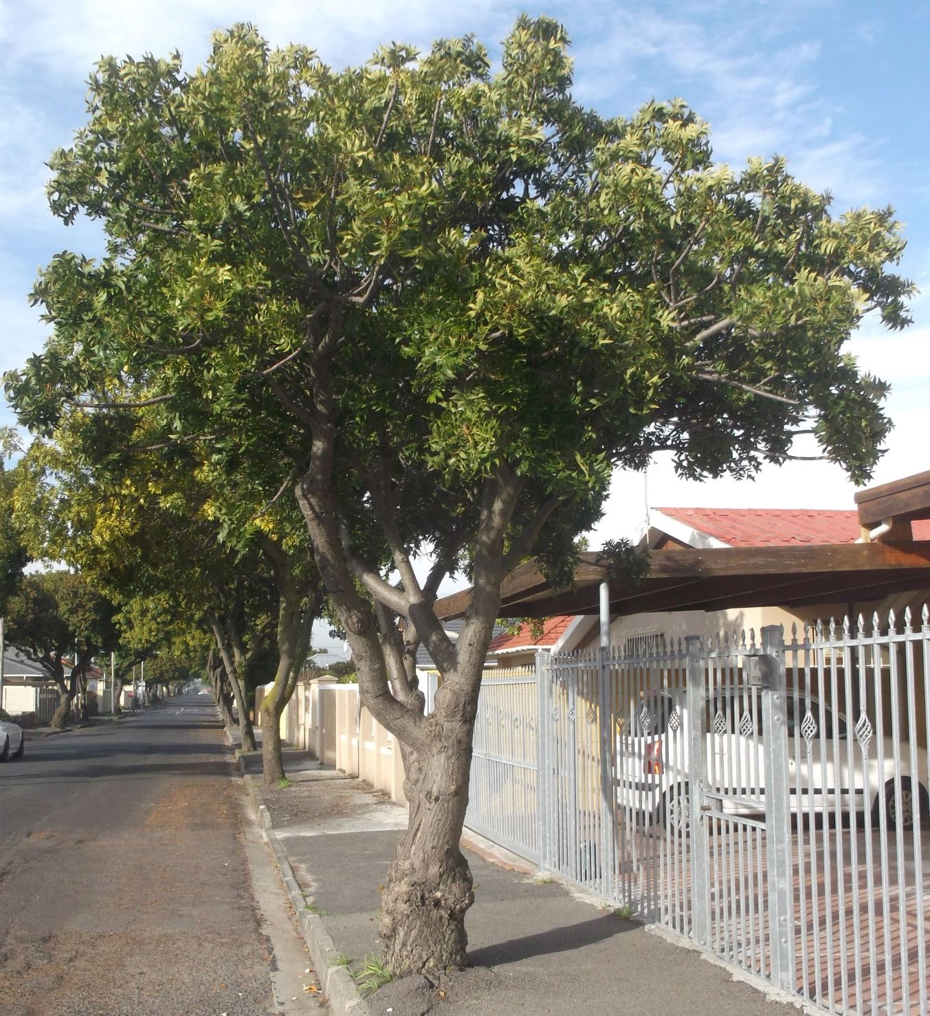 A whole street of African wild plum trees in Goodwood