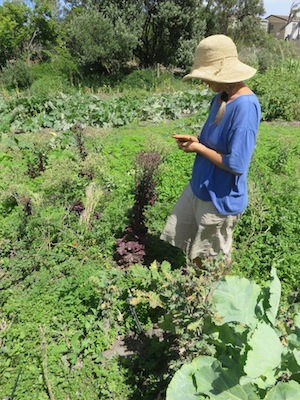 Phillipa checks the readiness of the red lettuce seed