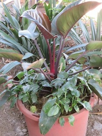 low water use Philodendron
