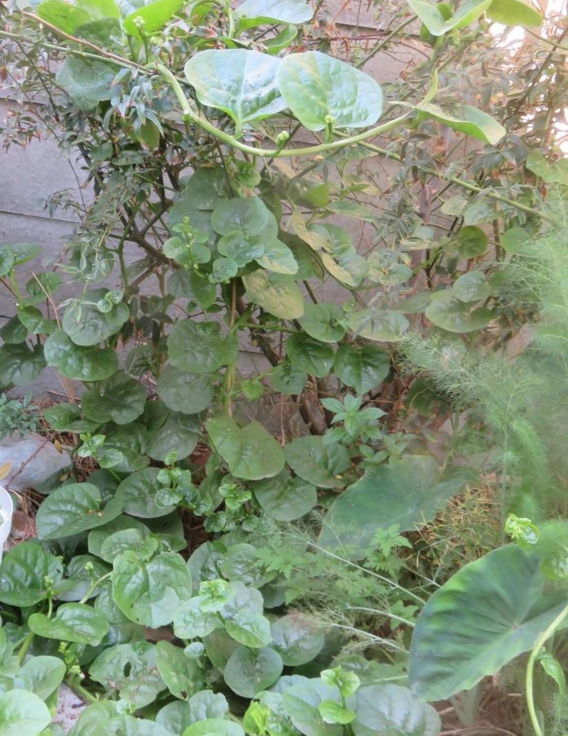 An exotic perennial climbing leaf vegetable, Basella alba